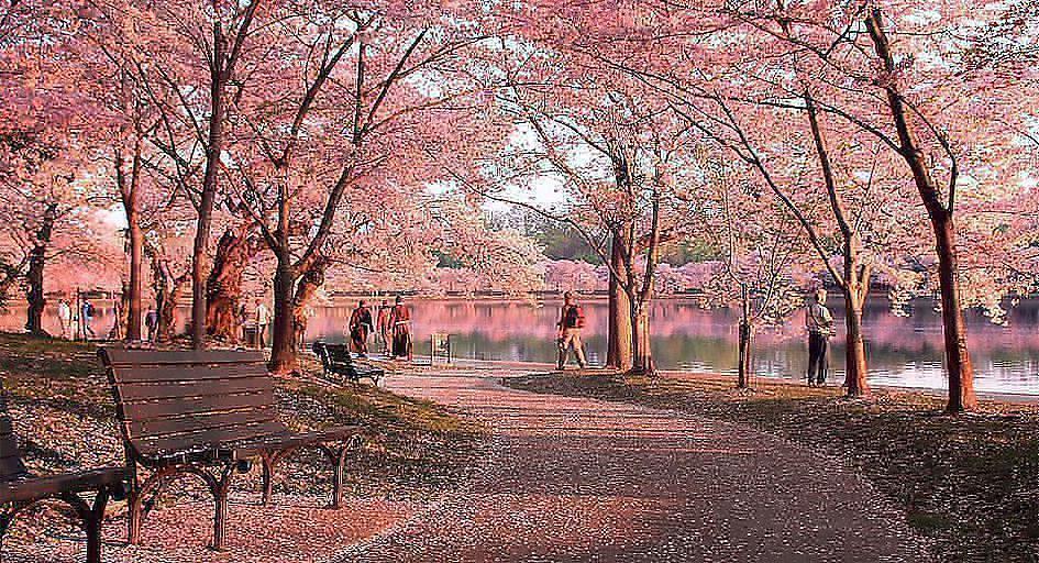 海外のオススメお花見スポット:アメリカ・ワシントンD.C.